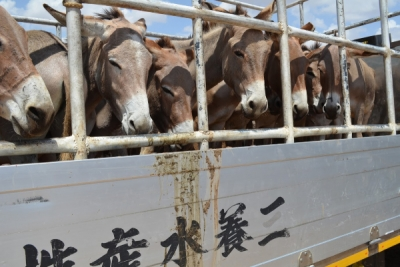 Donkeys are being stolen and killed for Chinese 'medicine'. Photo: The Donkey Sanctuary