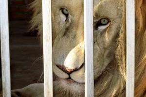 SA cracks down on wildlife crime and lion hunting